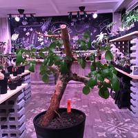 commiphora  africana《L size》灌木らしさ感じる独特の渋い表皮と樹形‼︎※発根芽吹き済み株‼︎