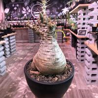packypodium   saundersii(M  size)※現地球発根済株※可愛すぎるほどぼってり樹形且つ株元は木質化したギャップ萌えサンデルシー※mad black bowl pot植え