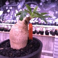 euphorbia    primulifolia  《M size》《花色 =white》※ぼてっとプリっとしたこのフォルムが堪らない人気者‼︎※mad black pot植え