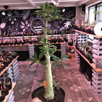 激希少 dorstenia   gigas  big size‼︎《LL size》※大変大株の上、何より樹形balanceも最高な滅多に手に入らないサイズ感の驚愕ギガス特選株※限定1株