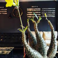 packypodium  gracilius《L size》希少4分頭株※現地球発根済株※店主国内管理3年株※極めて美しい肌質と最高樹形balance‼︎※mad black bowl pot植え
