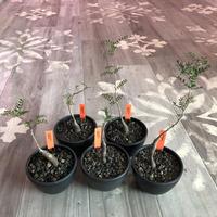 opercullicarya   packypus  littmon  seed🌱 《4年半株》※mad black  bowl  pot植え (限定5株)