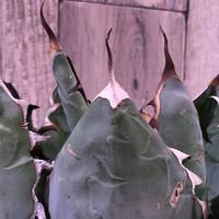 agave      titanota