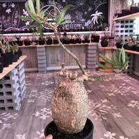 packypodium  bispinosum《L  size》現地球  発根済み株  ※店主管理国内6年株‼︎ ※mad  black  pot植え