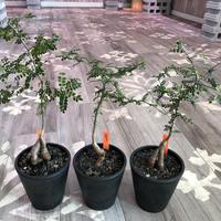 opercullicarya   decaryi  littmon  seed🌱  《4年株》mad  black  pot植え (限定3株)
