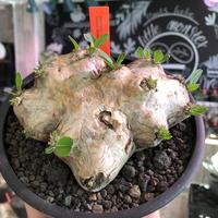 packypodium  brevicaule恵比寿笑い《M size》※現地球発根済株※丁度良きサイズ感‼︎まだ威勢よく展開中🌱今後流通少なくなります※mad black pot植え