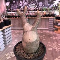 packypodium  gracilius《小さめM  size》※現地球発根済株‼︎※早々芽吹き始めた希少二頭枝グラキ‼︎白柄が愛くるしい一株※mad black pot植え