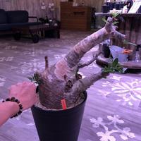 packypodium  saundersii《XXL  size》