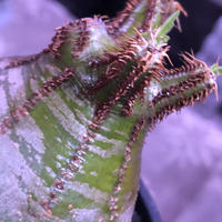 packypodium  gracilius《M size》green肌‼︎驚愕低重心※現地球発根済株※店主国内管理3年株※極短枝で愛くるしいcolorに極ぼってり樹形※mad black pot植え