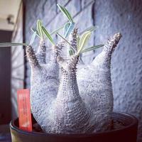 packypodium  roslatum var.cactipes《M  size》