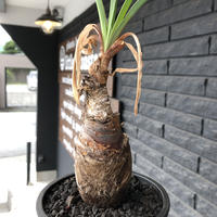 boophane   disticha  《M size》black肌※手乗りsizeな良き樹形なblack肌カラーが魅力※mad black pot植え