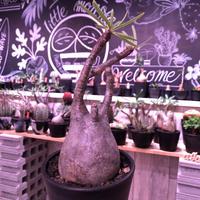 packypodium  gracilius《L size》※現地球発根済株‼︎※でっぷり株元に一本捻くれ枝が可愛いbalance良きグラキ※mad black pot植え