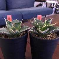 agave     titanota《S  size》from Europa  限定2株‼︎