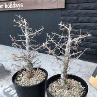 commiphora  simplicifolia《L  size》シルバーの枝と棘‼︎