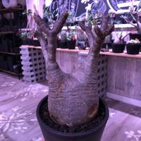 packypodium  gracilius《L  size》※現地球発根済株‼︎ ※現地球らしい傷を持ち、どっしり構えの短枝二頭枝グラキ※mad black pot植え