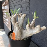 packypodium  inopinatum《M size》