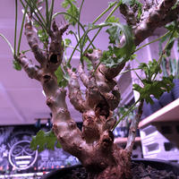 pelargonium   crithmifolium《L size》枝だけでなく、塊根部分も年々ボコボコと大きくなっていくのが楽しみな1株‼︎  ※mad black pot植え