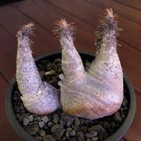 packypodium  gracilius《 M size》W-he'd※現地球発根済※white colorが綺麗な二分頭グラキ‼︎樹形含め堪らぬかわいさ※mad black pot植え