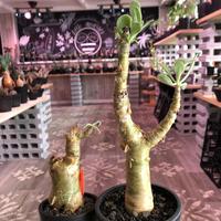 tylecodon  paniculatus《M size》※一番大きく成長する2種類のパニクラーツス‼︎※mad black pot植え ※限定2株