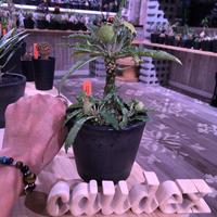 dorstenia   lavrani《L size》希少‼︎ でっぷり塊根部&五本の良き枝振り株 ※mad  black  pot植え