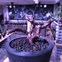 pelargonium  mirabile《M size》※限定1株‼︎ 枝振り&balance良きbest size‼︎ ※mad black pot植え‼︎ 芽吹き済み
