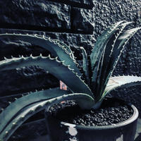 aloe   argyrostachys《L size》現地球発根済み‼︎ マダガスカルの希少種‼︎ ※mad black  marble bowl pot植え