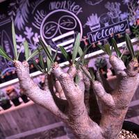 packypodium    inopinatum 《M size》発根済み株‼︎ 荒々しい肌質