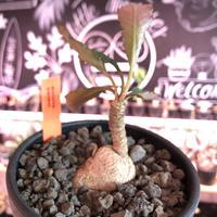 euphorbia cremersii《M size》※大きめぽっこり塊根&葉の表と裏がcolor違いの上、mad質で渋い肌質が大変カッコ良く上品な一株‼︎※mad black bowl pot植え