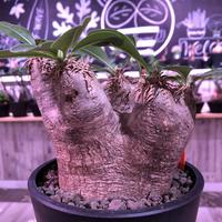 packypodium   roslatum var. eburneum(M size)※現地球発根済株※店主国内管理5年株※大変綺麗に纏まった美株エブレ※mad black pot植え