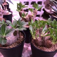packypodium    roslatum var. eburneum(L size)※発根済み株‼︎ エブレらしい荒々しい装い