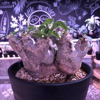 packypodium    roslatum var. eburneum(L size) ※現地球   発根済み株