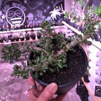 sarcocaulon   patersoni(L size)大変樹形 balanceも良く、本来の理想の樹形通りに成長してくれています。#mad black pot植え‼︎