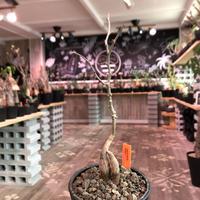 opercullicarya   decaryi  littmon  seed🌱  《4年半株》※大変成長早き良株&良枝振り樹形の選抜株‼︎※mad  black  pot植え