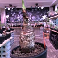 boophane   disticha  《M size》black肌‼︎※手乗りぼってり樹形なblack肌‼︎※mad black pot植え