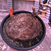 cyphostemma     pachypus《L size》希少size‼︎ ※歴史と現地球株らしい生き様を実感できる大株‼︎ ※mad black bowl pot植え