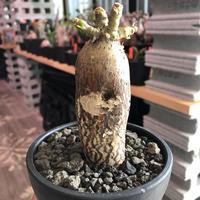 packypodium bispinosum 《小さめM size》※現地球発根済株‼︎※表皮の柄が大変美しい将来有望株‼︎激オススメ株※mad black bowl pot植え