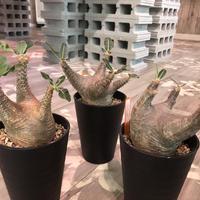 packypodium   roslatum  var.  cactipes《M size》