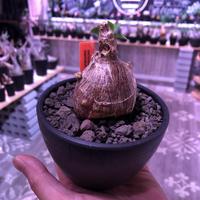 packypodium bispinosum 《S size》※現地球発根済株‼︎※ぼってり球体ビスピ‼︎まん丸で可愛い奴‼︎※mad black bowl pot植え