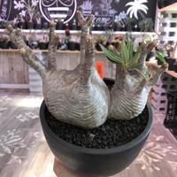 packypodium  gracilius《L size》W-hed※一周年記念vol1※現地球発根済み株‼︎※質良し!リトモン渾身のW-hed※mad black bowl pot植え