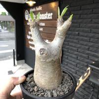 packypodium  inopinatum《M size》発根済み株‼︎