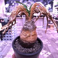 boophane   disticha  var.陽炎type‼︎《M size》※陽炎さがしっかり出てるcontrast抜群な一株‼︎mad black pot植え