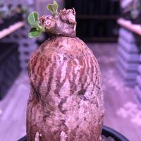packypodium bispinosum 《S size》※現地球発根済株‼︎※ツルッと丸々した茶肌株の上、表皮の柄が大変綺麗な一株‼︎※mad black pot植え