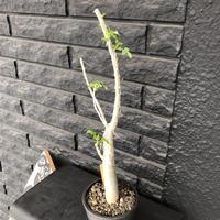 bursera  fagaroides《M size》※剪定後再芽吹き済株‼︎※大変上品な人気灌木ファガロイデス‼︎※mad black pot植え