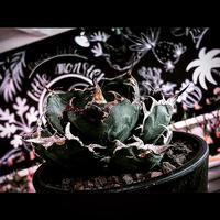 agave  titanota  白鯨《M size》※現地球発根済株※最高の鋸歯に幅広肉厚葉が堪らない一株‼︎※mad black pot植え