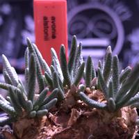 avonia   alstonii《大きめM size》※大きめ塊根の葉のしなやかさと愛くるしさ満点な堪らない冬の人気者‼︎※ mad black pot植え