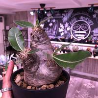 packypodium    roslatum var. eburneum(M  size)