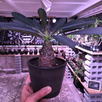 euphorbia   pachypodioides《M size  360度 ぼってり丸型》憎めないほどぼってりで愛くるしい1株‼︎ ※mad black pot植え‼︎