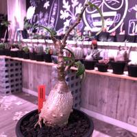 packypodium  succulentum《大きめS size》現地球発根済株‼︎※既にミニチュアにしただけの良き装い‼︎※mad black pot植え