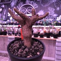 euphorbia  itremensis 《M size》個体差の激しい樹形とmad質な葉&表皮colorが魅力な人気者※mad black pot植え
