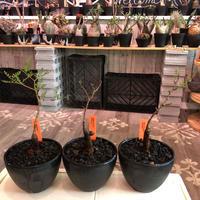 opercullicarya  packypus   littmon  seed🌱 《5年株》幹も太く‼︎&枝振り樹形&balance良きパキプス※mad black bowl pot植え※限定3株